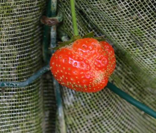 פרי תות יער