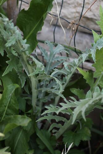 צמח הארטישוק, ארטישוק, artichoke