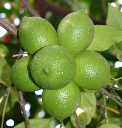 פירות לימון